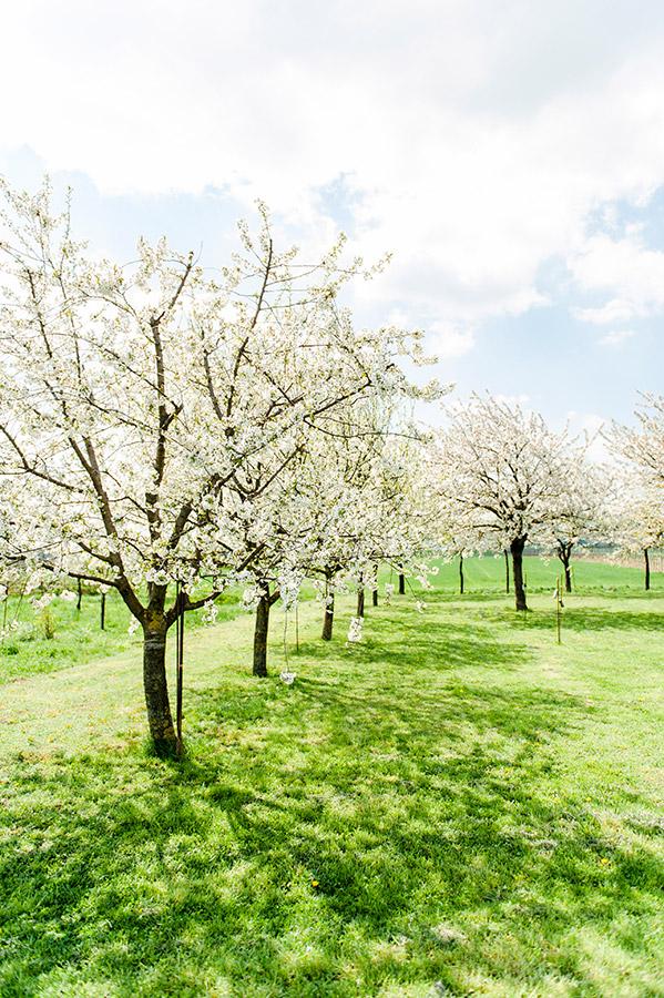 Kirschblüte in Breitenbrunn am Neusiedler See